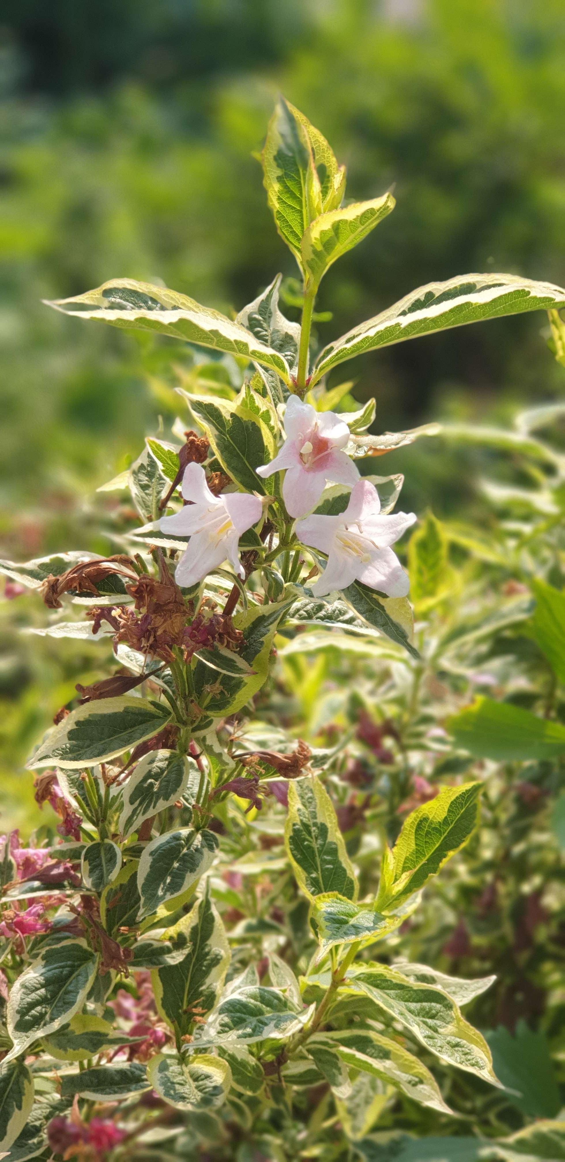 Foto van de echte 'Plant van Noortje' in onze voortuin, een Weigela florida 'Nana Variegata'. Groen blad met witte randjes en roze bloemen.